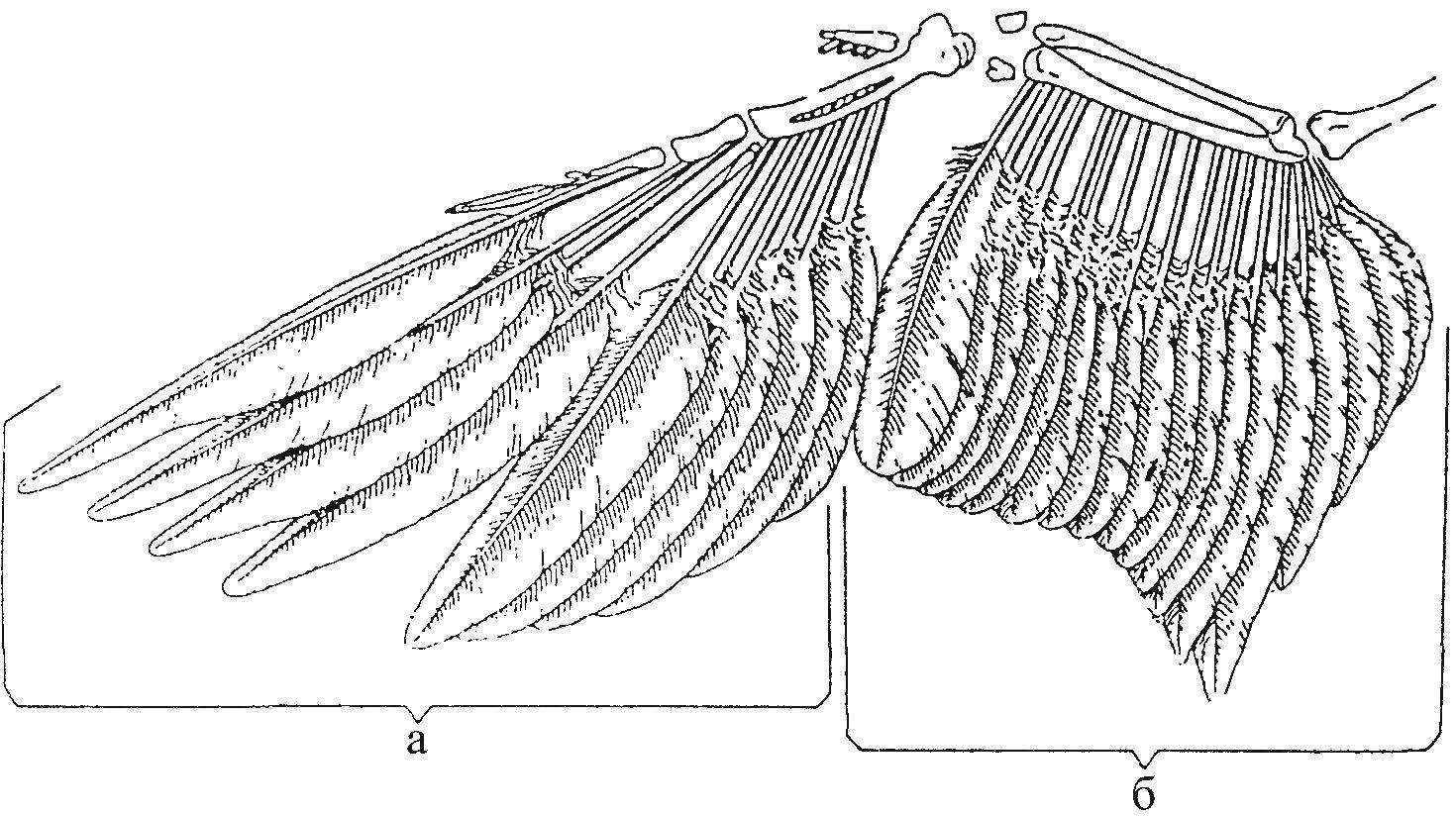 Расположение маховых перьев на крыле птицы