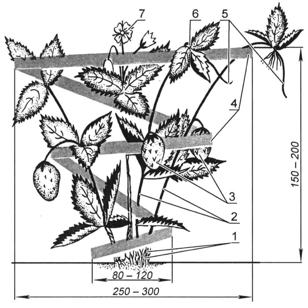 Спираль-подпорка, защищающая от «серой гнили»: 1 - побеги; 2 - стебли; 3 - ягоды; 4 - витки защитного приспособления в виде разворачивающейся спирали; 5 - усы (столоны); 6 - розетка листьев; 7 - цветок земляники