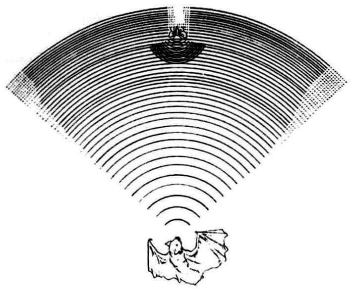 Эхолокатор летучих мышей очень точный навигационный «прибор»: он в состоянии запеленговать даже микроскопически малый предмет-диаметром всего в 0,2 миллиметра!